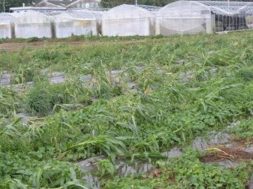 黃克賢所種的玉米等蔬菜受風災而損毀